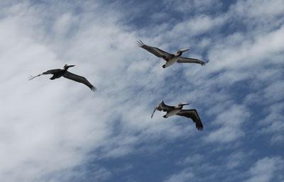 Tamarindo---pelicans