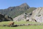 Free-range llamas (alpacas?)