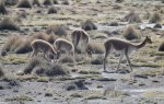Peru's national animal, the vicuna