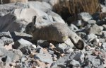 Colca Canyon - Southern Viscacha (not a rabbit!)
