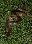 Small Anaconda at the lodge