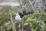 Frigatebird and chick