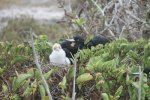 Frigatebird and chick