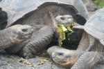 Giant tortoises at research station