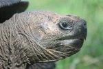 Giant land tortoise in the wild