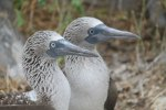 Blue-footed boobys