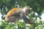 Squirrel Monkey near the dock in Coca