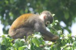 Squirrel Monkey near the dock in Coca