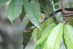 Black-tailed Whip Snake