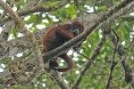 Red Howler Monkey near Anangu Creek