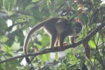 Squirrel Monkey near Anangu Creek