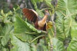 Hoatzin pointing the way