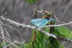 Tanager at the lodge