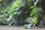 Huge ferns and palms along the creek