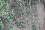 Napo River clay lick attracts various parrots and parakeets