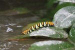 Large caterpillers along the creek