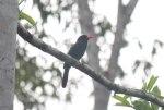 Nunbird watches out for smaller birds