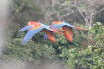 Scarlet Macaws in flight