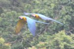 A pair of Blue and Yellow Macaws fly by