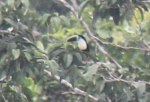 In the distance, a Channel-billed Toucan