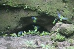 Cobalt-winged Parakeets gather at clay lick