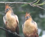 A pair of Hoatzin punkers watch us paddle by