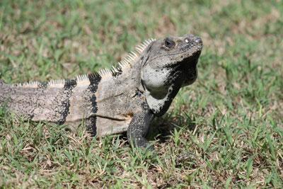 Tulum - iguanas everywhere!