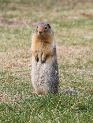 Columbia Ground Squirrel, Glacier National Park