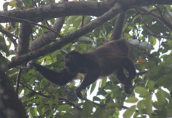Howler monkeys wake up and howl at 5:30 every morning, sounds like a T Rex is approaching!