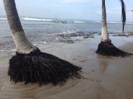 Palm tree roots exposed as the beach washes away.